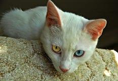 Turc Van Cat Image stock