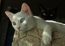 Turc Van Cat Photos stock