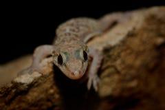 Turcicus méditerranéen de Hemidactylus de gecko de maison dans le mur la nuit photo libre de droits