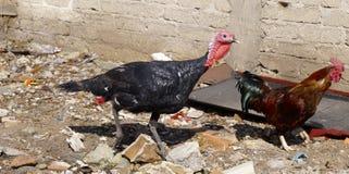 Turcja i kogut Zdjęcie Royalty Free