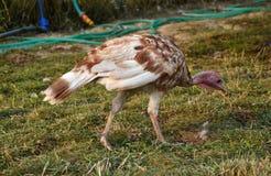 Turcja na farmyard Dziękczynienie dnia symbol Obraz Royalty Free