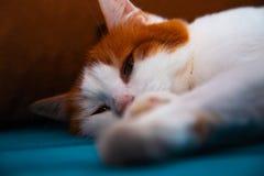 Turco Van Cat fotografia stock