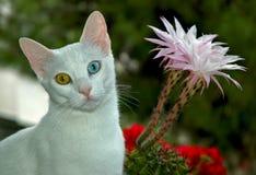 Turco Van Cat Fotografía de archivo