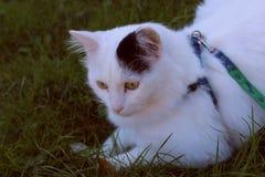 Turco Van da raça do gato ou angora turco Fotos de Stock