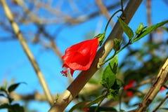 Turczynki ` s nakrętki ślazu kwiat Zdjęcia Stock