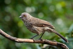 Turdoides marqués de jardineii d'oiseau de bavard de flèche Image stock