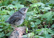 Turdus bird Royalty Free Stock Images