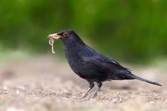 turdus för merula för blackbirdeurasiankvinnlig Royaltyfri Foto