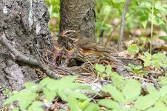 The redwing chicks feeding with earthworms royalty free stock image