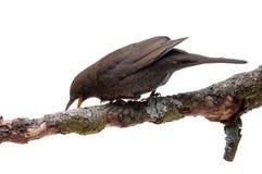Turdus merula bird isolated. Turdus merula - blackbird isolated on white background Royalty Free Stock Image