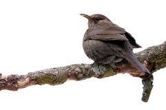 Turdus merula bird isolated. Turdus merula - blackbird isolated on white background Royalty Free Stock Images