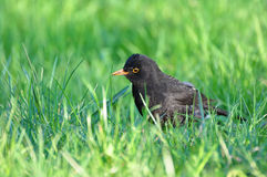 Turdus merula, black bird Royalty Free Stock Photos