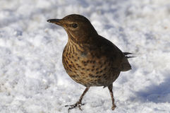 Turdus merula, blackbird Royalty Free Stock Photography