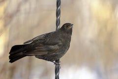 Turdus merula, blackbird Stock Photography