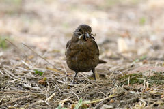 Turdus merula or common blackbird carrying worms stock images