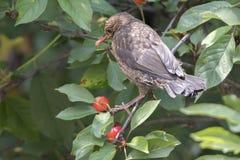 Turdus merula common blackbird eating cherry Stock Photos