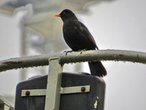 Turdus merula or Common Blackbird, England Royalty Free Stock Images