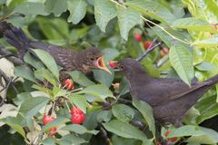 Turdus merula common blackbird give food at her puppy Royalty Free Stock Photos