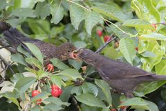 Turdus merula common blackbird give food at her puppy Stock Image