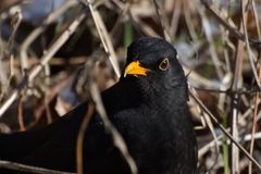 Turdus merula, Common blackbird, a partially migratory bird from the thrush family. Mid-sized bird species, bird with yellow eye Stock Image