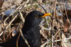 Turdus merula, Common blackbird, a partially migratory bird from the thrush family. Mid-sized bird species, bird with yellow eye Royalty Free Stock Image