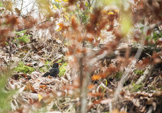 Turdus merula looking for food. Small bird looking for some food under the leaves Stock Image
