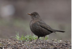 Turdus merula Stock Photo
