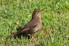 Turdus merula. Search in grass food Stock Photography
