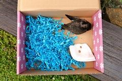 Turdus merula. Small blackbird in a cardboard box, rescued blackbird Royalty Free Stock Photos