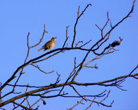 Turdus philomelos bird. Is singing and sitting on a branch Royalty Free Stock Photo