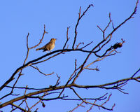 Turdus philomelos bird. Is singing and sitting on a branch Royalty Free Stock Images