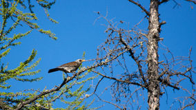 Turdus philomelos. Bird Turdus philomelos on a tree branch against the blue sky Royalty Free Stock Photo