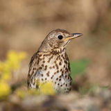 Turdus philomelos look around in summer day Stock Photography