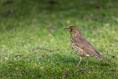 Turdus philomelos Royalty Free Stock Images