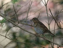 Turdus philomelos Song thrush Stock Photo