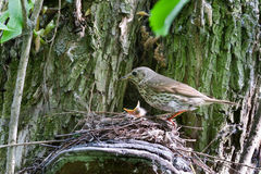 Turdus philomelos, Song Thrush. Nest of the Turdus philomelos, Song Thrush stock image