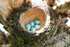 Turdus philomelos, Song Thrush. Nest of the Turdus philomelos, Song Thrush Royalty Free Stock Photos