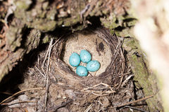 Turdus philomelos, Song Thrush. Nest of the Turdus philomelos, Song Thrush Stock Images