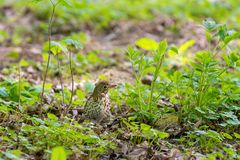 Turdus philomelos, thrush  looking for food in green grass. Turdus philomelos, thrush  looking for food Stock Image