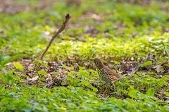 Turdus philomelos, thrush  looking for food in green grass. Turdus philomelos, thrush  looking for food Royalty Free Stock Image