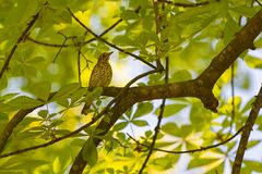 Turdus philomelos, thrush sitting on branch of tree. And green leaves stock image