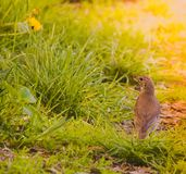 Turdus philomenos Song Thrush in grass. In the morning Royalty Free Stock Images