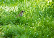 Turdus philomenos Song Thrush in grass. Turdus philomenos Song Thrush in green grass, summertime Royalty Free Stock Photo