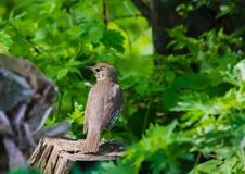 Turdus philomenos Song Thrush on the stump in the forest. Sunny day Stock Photography