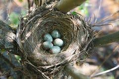 turdus pilaris гнездя fieldfare Стоковые Изображения