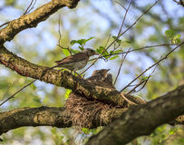 Turdus pilaris bird feeding its nestlings Stock Photography