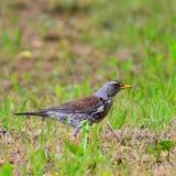 Turdus pilaris bird Royalty Free Stock Photography