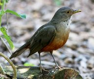 Turdus rufiventris Royalty Free Stock Images