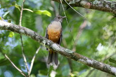 Turdus rufiventris the branch Royalty Free Stock Photo