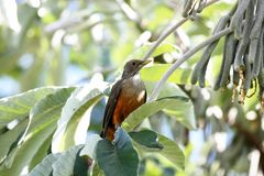 Turdus rufiventris in the tree Royalty Free Stock Images